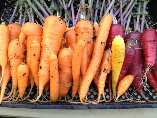 the Ledson's Family CSA Farm Carrots