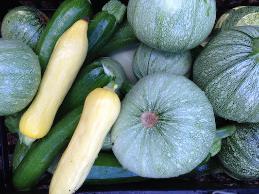 the Ledson's Family CSA Farm Summer Squash