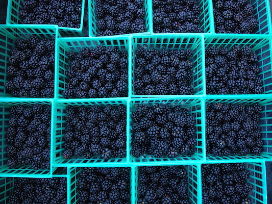 the Ledson's Family CSA Farm Blackberries
